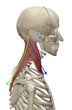 """The """"Hidden Survival Muscle"""" In Your Body Missed By Modern Physicians That Keep Millions Of Men And Women Defeated By Pain, Frustrated With Belly Fat, And Struggling To Feel Energized Every Day… Head Anatomy, Gross Anatomy, Yoga Anatomy, Human Body Anatomy, Human Anatomy And Physiology, Anatomy Study, Anatomy Drawing, Anatomy Art, Anatomy Reference"""