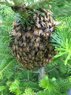 honey bee swarm- we had one last year, just leave them alone they will fly away in a couple of days....mess with them & trouble!
