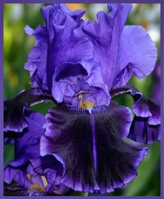 TB Iris germanica 'Into the Night' (Schreiner, 1989)