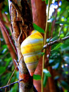 Found no-where else in the US, the incredibly rare Liguus Tree Snail resides in the hardwood hammocks of Big Cypress National Preserve, and the Everglades National Park.