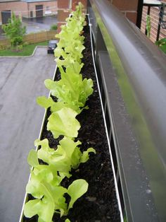 "I am ready to ""gutter garden"" for my lettuce next year.  Shallow roots, gutter can be put in the sun along the fence, and we get to eat lettuce!  Win, win, win."