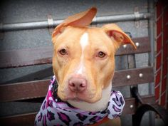 SAFE!! Manhattan Center MARIELY - A1025750 *** AVERAGE HOME *** FEMALE, TAN / WHITE, PIT BULL MIX, 8 mos STRAY - STRAY WAIT, NO HOLD Reason STRAY Intake condition EXAM REQ Intake Date 01/18/2015 https://www.facebook.com/photo.php?fbid=947275568618656