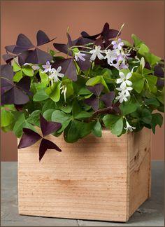 1000 images about oxalis on pinterest purple shamrock garden club and velvet - Shamrock indoor plant ...