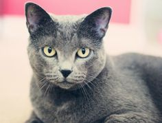 Russian Blue cats - Google Search