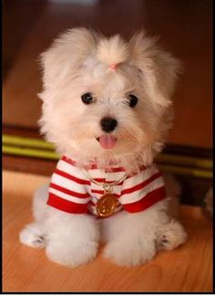 Maltese Puppy-OMG I can't even handle the cuteness