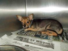 SAFE --- from a hoarding case  MERRY (A1686658)I am a female black and tan Chihuahua - Smooth Coated.  The shelter staff think I am about 3 years old and I weigh 7 pounds.  I was turned in by my owner and I am available for adoption. Miani Dade https://www.facebook.com/urgentdogsofmiami/photos/pb.191859757515102.-2207520000.1426741966./947027925331611/?type=3&theater
