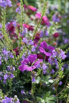 Geranium Anne Thompson with blue Linaria Moon Garden, Dream Garden, Garden Art, Garden Plants, Garden Design, Beautiful Gardens, Beautiful Flowers, Geranium Vivace, Herbaceous Border