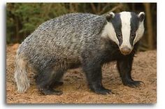 The National Farmers Union (NFU) have written to Environment Secretary Owen Paterson to request that the pilot badger culls in West Somerset and West Gloucestershire go ahead in 2013. The request follows new survey results which revealed higher than anticipated badger numbers in the two pilot areas. Following a thorough assessment of their current capability, the NFU this morning informed Defra