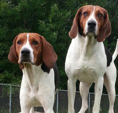 beautiful treeing walker coonhounds!!!