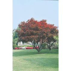 Shop 2.25-Gallon Upright Red Japanese Maple Tree (L2657) at Lowes.com