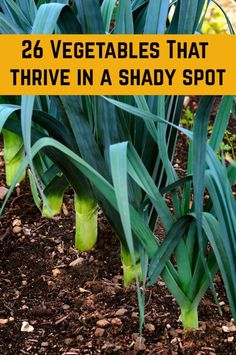 26 Vegetables To Grow In The Shade - You may think that a shady garden spot can't grow vegetables and other edibles, but you'll be surprised! These veggies and other edibles can grow even in the shade. Elements to bear in mind for the lovely back garden Home Vegetable Garden, Fruit Garden, Edible Garden, Vegetable Planting Guide, Veggie Gardens, Home And Garden, Organic Gardening, Gardening Tips, Gardening Services