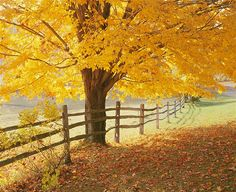 A Sugar Maple (Acer Saccharum) in golden fall color grows next to a split rail fence in a green pasture in Reading, Vermont.(© Ron and Patty Thomas/Photographer's Choice/Getty Images)