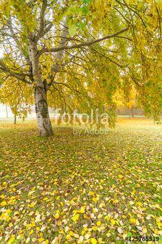 Herbstlandschaft mit alter Weißbirke, Parkanlage mit Herbstlaub, Betula, plakatives Herbstfoto, Textfreiraum