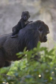Gorilla and baby gorilla.