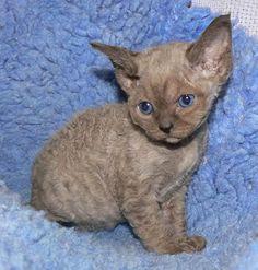 picture of devon rex kittens