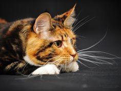 Bilder Hintergrundbilder herunterladen kostenlos Bild 1024 x 768 Maine Coon Katzen