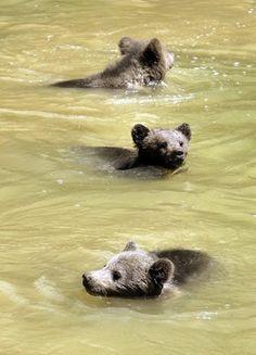 swimming bear cubs