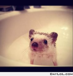 Hedgehog taking a bath