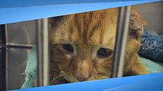 Couple Adopts Saddest Cat In The World Nobody Wanted, Kitty Transforms W. F2 Savannah Cat, Savannah Chat, Animal Shelter, Animal Rescue, Cauliflower Ear, Sad Cat, Cat Whisperer, Big Animals, Fluffy Cat
