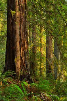 ~~Oregon Redwoods | Loeb State Park, Brookings, Oregon by David M. Cobb~~