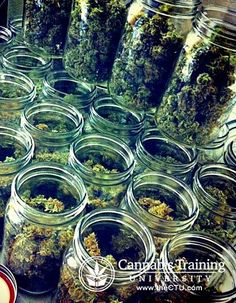 Processing stage for medical marijuana production! See for yourself!