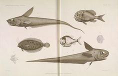 Résultats des campagnes scientifiques accomplies sur son yacht.  [Monaco,Impr. de Monaco],1889