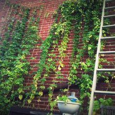 Hops! Hops Trellis, Trellis Design, Rooftop Garden, Restaurant Design, Garden Design, Outdoor Structures, Craft, Flowers, Plants