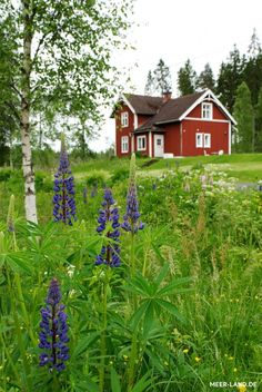 Lupines near a red cottage in Ljungafors, Sweden. Swedish Cottage, Red Cottage, Swedish House, Beautiful Homes, Beautiful Places, Beautiful Pictures, Red Houses, Meadow Garden, Scandinavian Countries