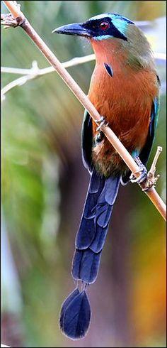 # Blue Crowned Motmot,