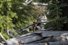 Western Tanager in Yellowstone National Park