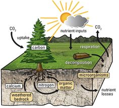 The nutrient cycle outlines the movement of chemical nutrients in the environment. Examples include the carbon cycle and the nitrogen cycle. Earth And Space Science, Science For Kids, Science And Nature, Earth Space, Elementary Science, Nutrient Cycle, Teaching Science, Science Revision, Gcse Science