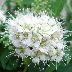 Spiree Japonica  albiflora