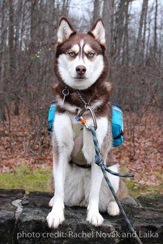 Husky. Groundbird Gear extra-small custom made dog pack in Aqua, Purple and Khaki. Custom-made dog harness in desert camo.