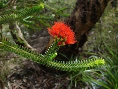 Beaufortia Care: Learn About Beaufortia Growing Conditions -  Gardeners in warm season climates may see Beaufortia growing in containers, borders, perennial gardens or as stand-alone sentinel species. Click here for more Beaufortia plant info so you can decide if this plant is right for your landscape.