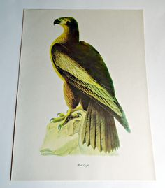 Audubon Bird Print For Framing Bald Eagle Print 1940's Birds of America by treasurecoveally on Etsy