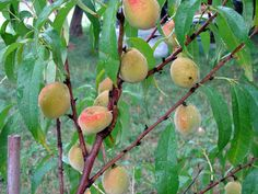 Growing peaches in the home garden is very rewarding. Unfortunately, peaches are prone to disease. Finding a brown spot on peach fruit may be an indication of peach scab disease. Learn more here. Peach Tree Care, Peach Trees, Peach Tree Diseases, Peach Fruit, Homestead Gardens, Lawn And Garden, Garden Tips, Garden Ideas, Growing Veggies