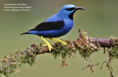 Cyanerpes luscidus.  Shinning Honeycreeper. #Aves. #Birds #Costaricanbirds