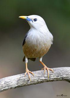Blyth Starling