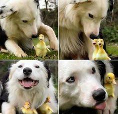 everyone loves baby ducks