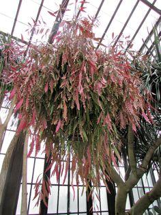 Pseudorhipsalis ramulosa (Red Rhipsalis) is a shrubby, epiphytic cactus, freely branching basally with pendant, flat, reddish tapeworm...