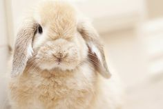 our new bunny, Ranger  #hollandlop #bunny #rabbit