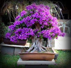 Royal Purple Flowering Bonsai