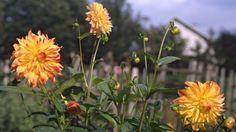 Jedny z nejkrásnějších květin na zahradě jsou jiřiny. Co do množství podob se mohou srovnávat s růžemi.
