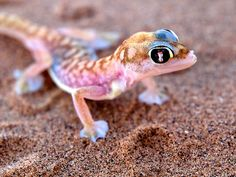 Namib Gecko | by Joe G Knapman