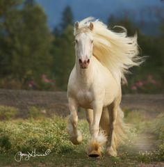 Horse - Gypsy mare named Pearl.