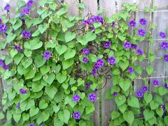 morning glory plant - Google Search