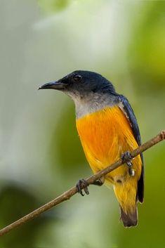 Orange-breasted Flycatcher by Allan Seah on 500px