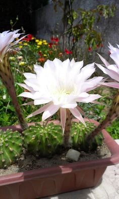 In a year only one night blooming cactus from my garden