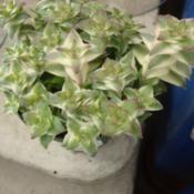 Crassula perforata var. variegata
