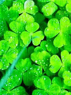 Ngắm nhìn những cây cỏ 3 lá nhỏ bé nhưng xanh tươi và tràn đầy sức sống dưới cơn mưa dịu nhẹ với tải hình nền động – Cỏ 3 lá nhé!